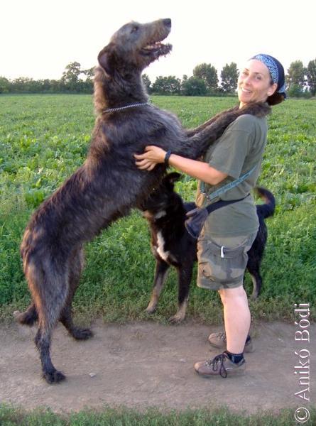 wolfshound-ali-aniko