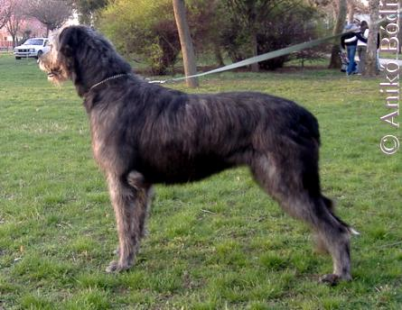 wolfshound-ali-tavasz1