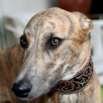 Das erste Leder-Windhunde-Halsband! Evita mit siebeneinhalb Monaten [15.05.2010]