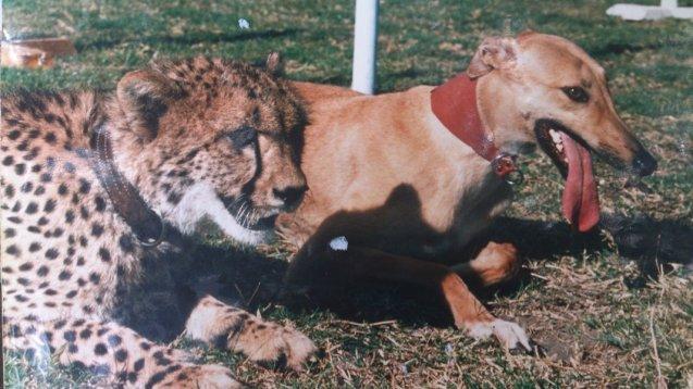Cheetah_Agars_Rennbahn02-Siegfried