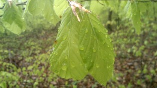 Die Regentropfen sind wohl noch zu schwer für die zarten Blätter