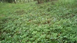 Waldmeister bedeckt wie ein Teppich den Waldboden.