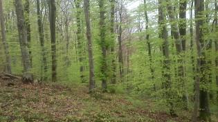 Der Wald leuchtet durch das zarte Grün!