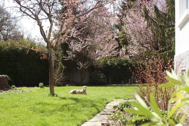 Japanischer Kirschbaum in Blüte!