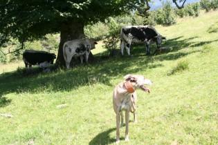 """Und """"mir nix, dir nix"""" vorbei an den Kühen..."""