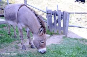 Ein hüscher Esel, der seinen Namen dem längs- und quer verlaufenden Aalstrich zu verdanken hat.