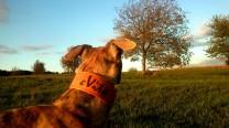 Kupfer-Hund