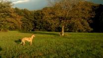 ... dort dramatisch dunkel und mitten auf der Wiese ein goldener Hund!