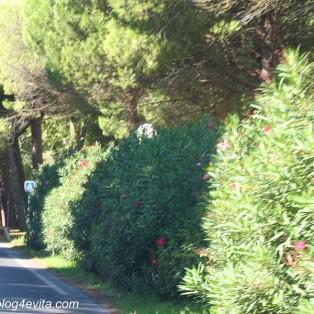 Hier wachsen die Oleander in riesigen Hecken