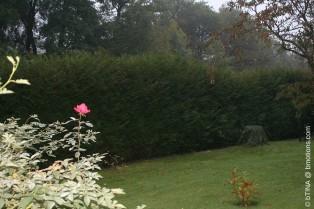 Unsere gewaltige Thuja-Hecke, morgens im Halbdunkeln - ganz WILD gewachsen!