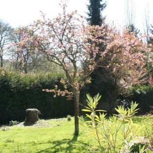 Auch der alte Kirschbaum überrascht uns mit rosé Blüten!