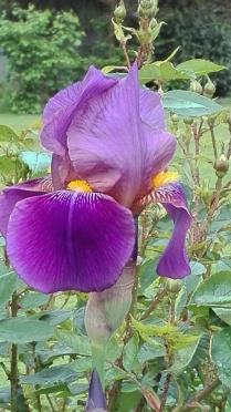 Fleur-de-Lys in dunkel lila