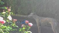 Evita hinter den rosaroten Rosen