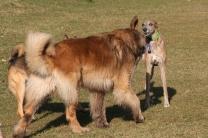 Ein riiiiiesiger Hund kommt auf Evita zu...