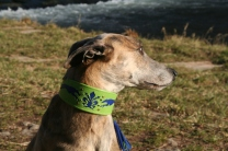 p20170225-0024_florentinesighthounds-16_evita
