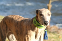 p20170225-0024_florentinesighthounds-19_evita