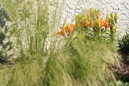 «Engelshaar» und im Hintergrund geschlossene Feuerlilien