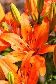 Frisch geöffnete Feuerlilien!!!