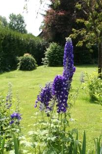 Rittersporn im Sommergarten 😉