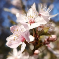 20200320_Maison_de_Lys-Fleurs-JapanischeKirsche1