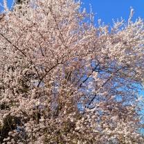 20200320_Maison_de_Lys-Fleurs-JapanischeKirsche2